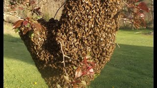 How to Capture a Bee Swarm in 27 seconds! thumbnail