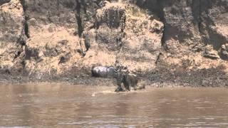 "Kenya, Masai Mara, migration des gnous ou ""crossing"""