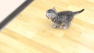 Британские котята БрэдПит 1 месяц (2)