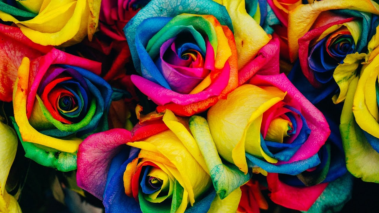 Top Most Beautiful Rainbow Roses In The World