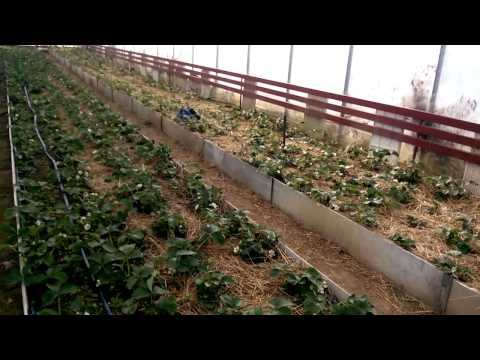 Выращивание зелени в теплице лук, петрушка, укроп