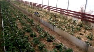 Выращивание клубники в теплице 26.03.2015(, 2015-04-12T09:06:18.000Z)