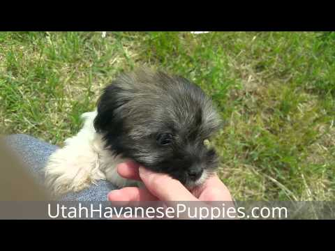 Adorable Sable Havanese Puppy Toto Enjoying the Sun!