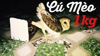 Download Video Bẫy Được Con Chim Cú Mèo Thứ 2 Vào Nhà Yến | Tôi Yêu Chim Yến MP3 3GP MP4
