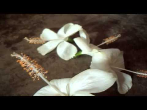 The Indian White Hibiscus