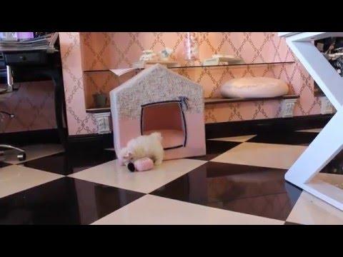Maltese teacup dogs sale - teacup puppies store .com - www.TeacupPuppiesStore.com