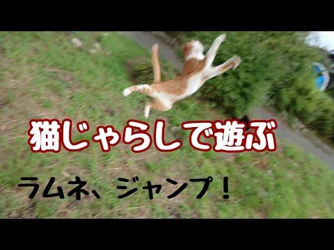 猫じゃらしで遊ぶ、まおとラムネ(ジャンプするラムネ)  Cats jumping
