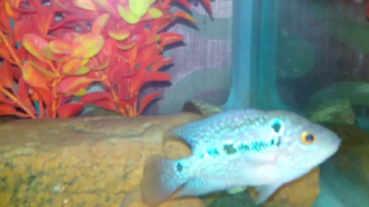 My Male Red Dragon FlowerHorn fish Baby Growing... - YouTube