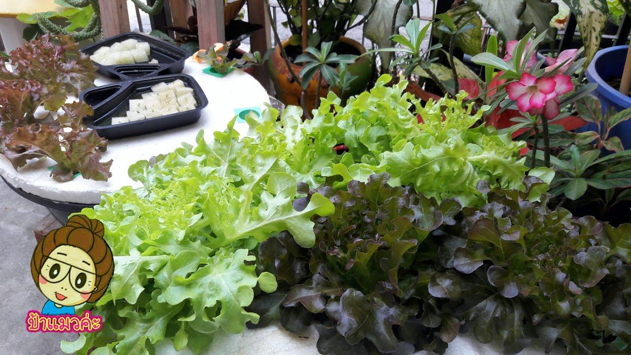 ทริคเล็กๆสำหรับการปลูกผักสลัดไฮโดรโปนิกส์ hydroponics