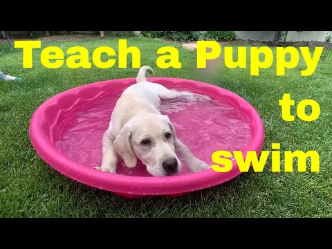 Introducing Lab Puppy To Water The RIGHT Way!