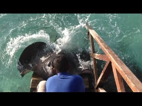 Stingray jumps onto ramp for food