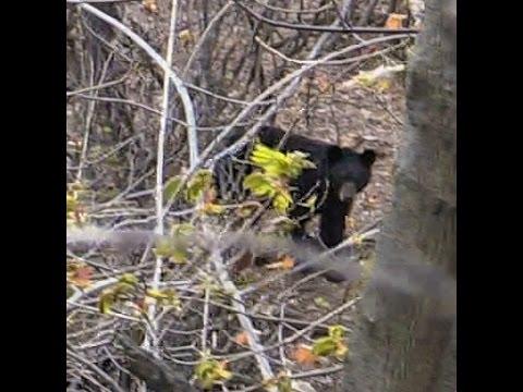 Bear on an Island in the Passaic River Paterson/Totowa NJ border Photos Monday April 27th 2015
