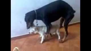 Schweinesex-Video