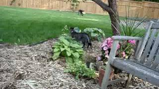 German Shorthair Pointer Chases Cat With Frisbee