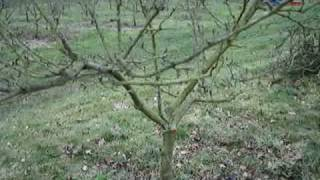 Fruitwise guide to pruning apple trees-part 1