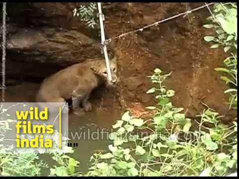 Rescue of a lion from a well in Junagadh
