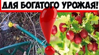 Два лучших удобрения: чем подкормить крыжовник осенью для богатого урожая, простые советы!