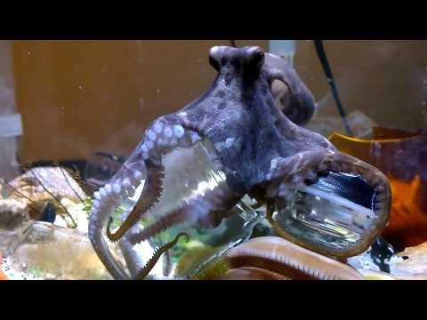 Pet Octopus Opens Jar