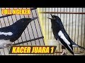Suara Burung Kacer Juara  Indonesia Gacor Durasi Panjang  Mp3 - Mp4 Download