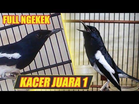 Suara Burung Kacer Juara 1 Indonesia Gacor Durasi Panjang