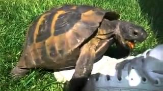 Turtle trying to hump a shoe.