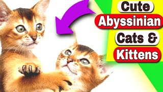 Abyssinian Cats  Are Abyssinian cats cuddly?