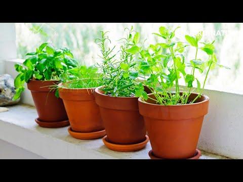 Plantas arom ticas de interior y exterior youtube - Plantas aromaticas interior ...