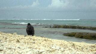 Short-tailed albatross video from Midway Atoll NWR June 13 2011 J Klavitter USFWS