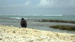 Short-tailed albatross video from Midway Atoll NWR June 13 2011 J Klavitter USFWS