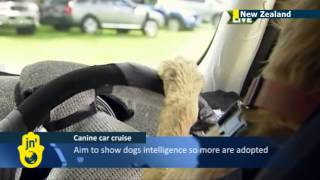Dogs Driving Cars: New Zealand Charity Teaches Stray Dogs To Drive