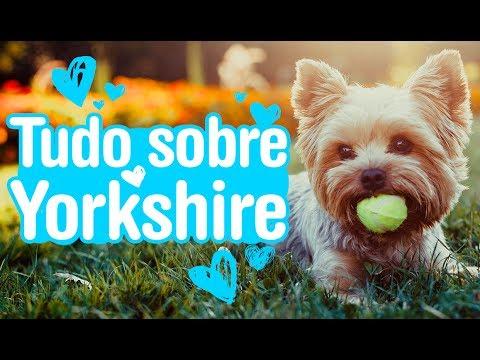 Yorkshire Terrier - saiba tudo sobre a raça