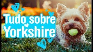 Yorkshire Terrier  saiba tudo sobre a raça