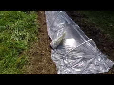 1st Morchella americana morel mushroom bed done