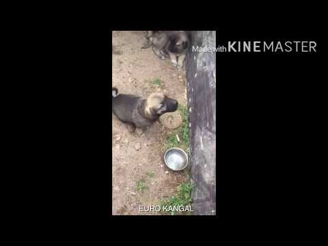 4x4 çeker kangal yavrusu! / 4x4 Turkish Kangal dog puppy!