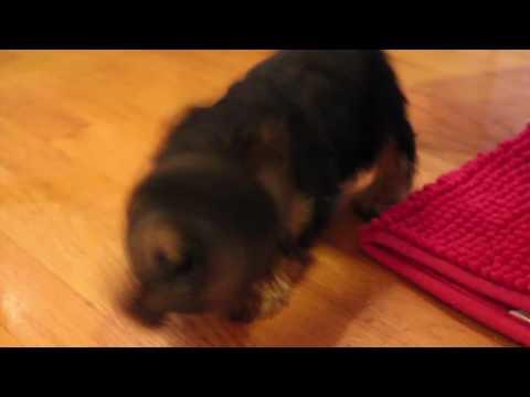 Teacup Yorkie Puppies For Sale Near Va