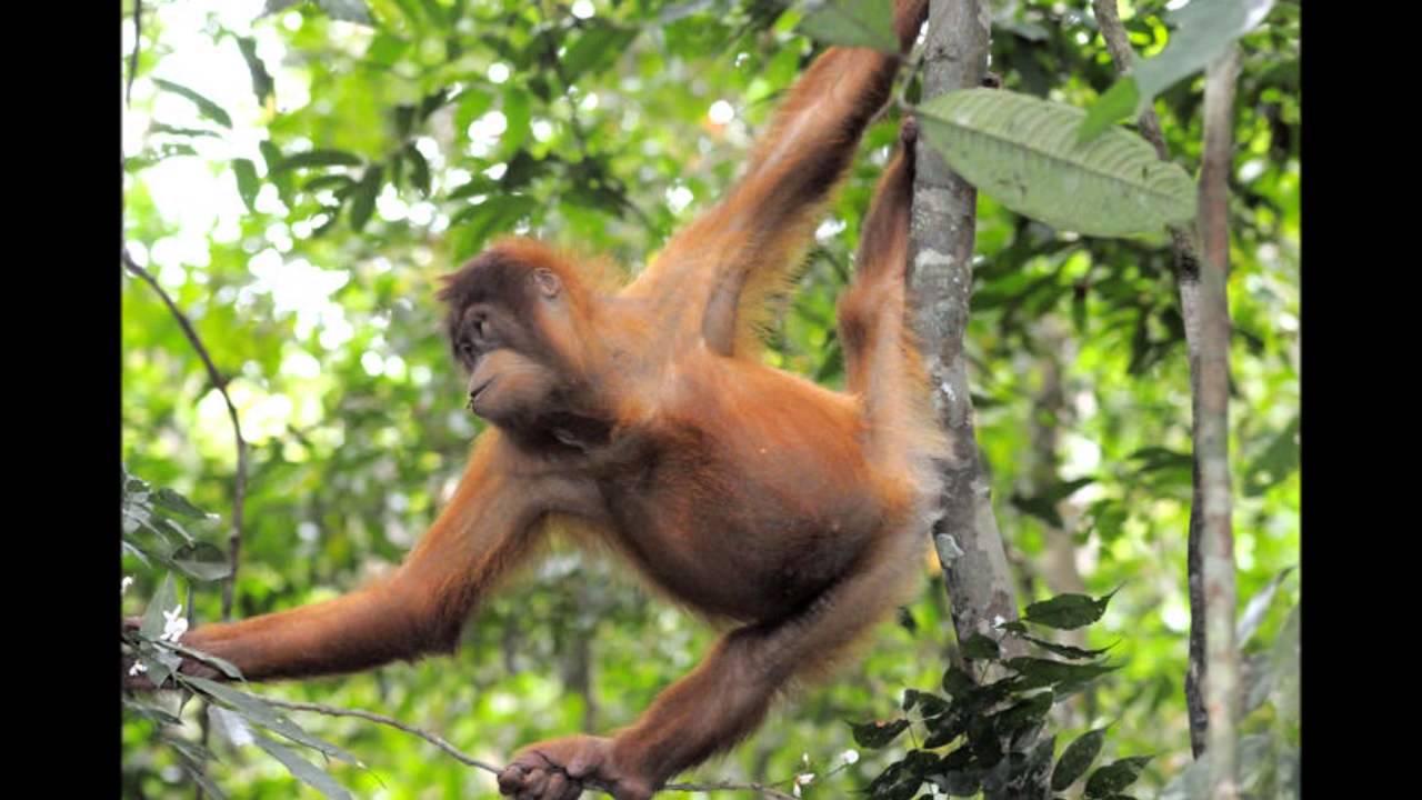 Orangutan Sumatera Orangutan De Su...