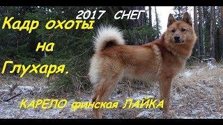 Охота на глухаря с карело-финской лайкой. Сезон  2017