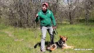 Дрессировка восточно европейской-немецкой овчарки (старотипный тип)(Следующее видео выйдет с дрессировкой щенка овчарки по вашим многочисленным просьбам. Наш сайт: http://okd-1st.com/..., 2014-04-30T18:35:17.000Z)