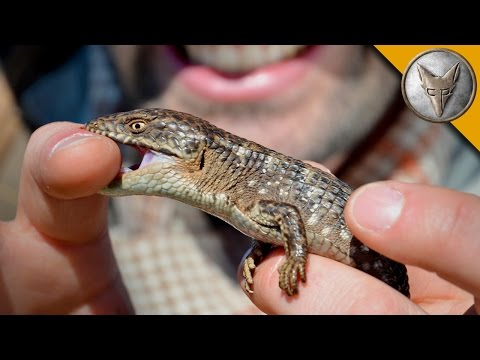 Thumbnail: Bitten by an Alligator...Lizard!