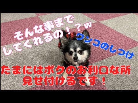 進化したお手と伏せw【犬のしつけ】 Dog Tricks
