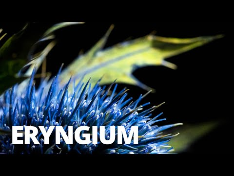 how-to-photograph-a-thistle-(eryngium)---flower-photography-tutorial