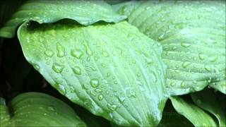 ❀ sound therapy   rain birds thunder   pure nature sounds 5 hours