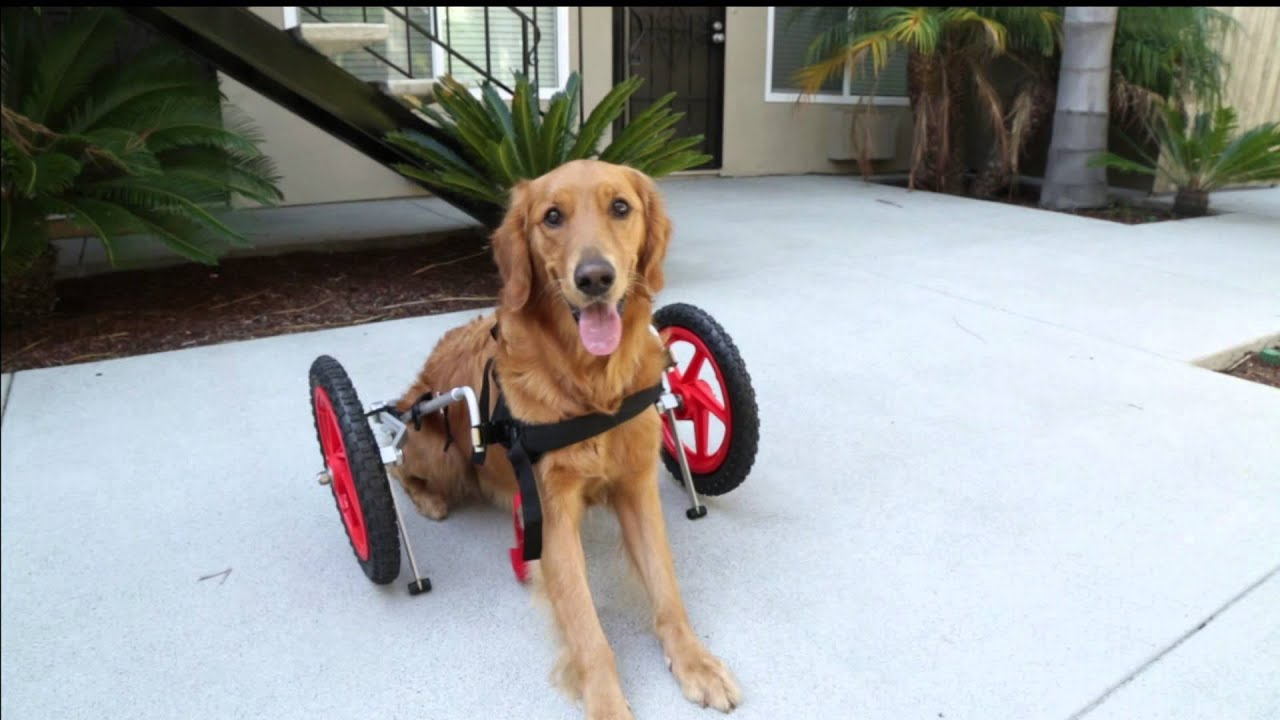 SitGo dog wheelchair demo Video HD 1080p