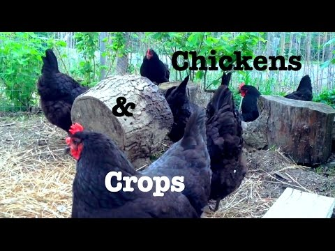 Chickens and Crops - Growing Together!