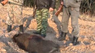 Охота на кабана в Брестской области