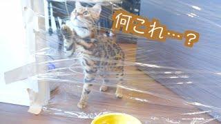 猫たちにサランラップドッキリをしかけた結果。。。