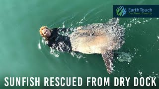 Stranded sunfish rescued from dry dock