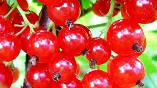 Красная смородина Желе без термической обработки(Красная смородина содержит провитамин А, необходимого для костей и хорошего зрения, здорового состояния..., 2016-07-04T08:02:08.000Z)