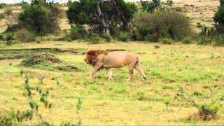 Two Lions in the Masai Mara, Africa