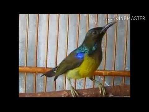 Pikatan Kolibri Kelapa